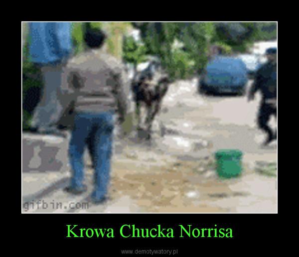 Krowa Chucka Norrisa –