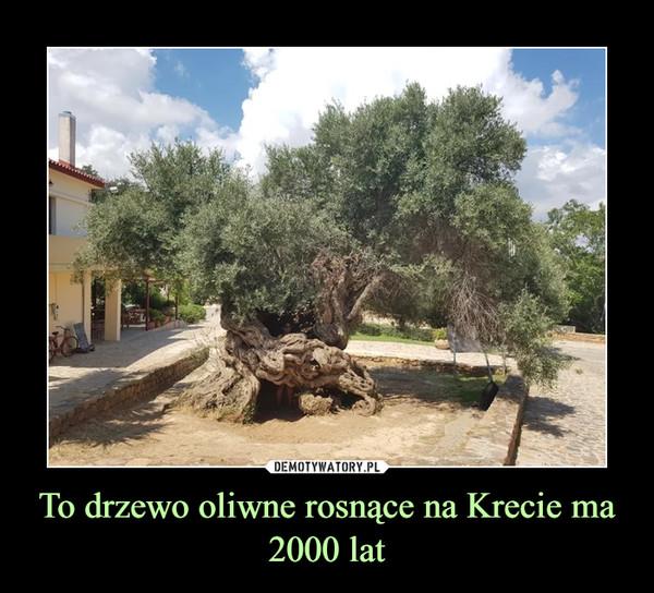 To drzewo oliwne rosnące na Krecie ma 2000 lat –