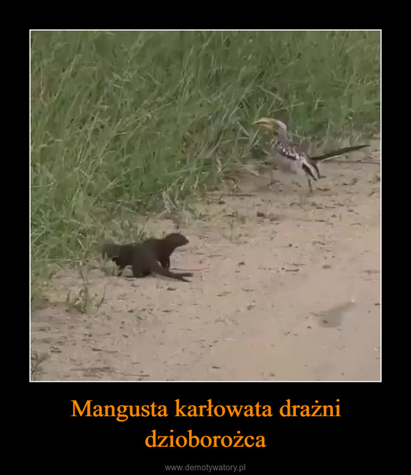 Mangusta karłowata drażni dzioborożca –
