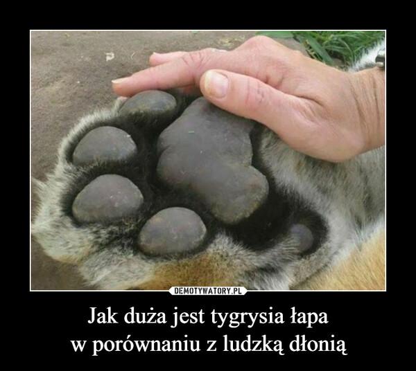 Jak duża jest tygrysia łapaw porównaniu z ludzką dłonią –