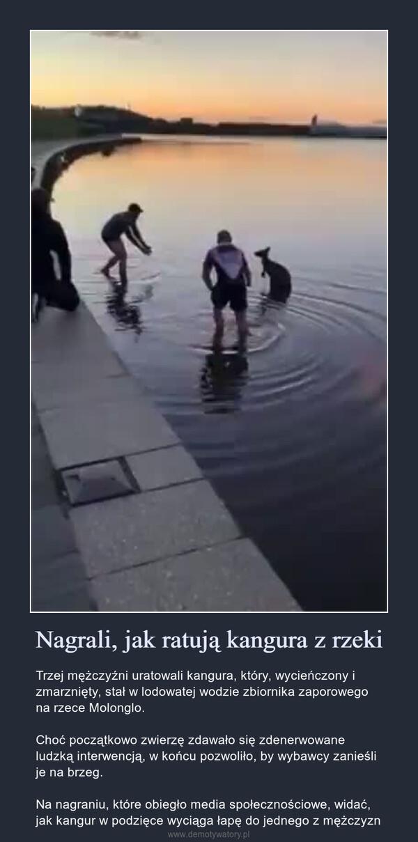 Nagrali, jak ratują kangura z rzeki – Trzej mężczyźni uratowali kangura, który, wycieńczony i zmarznięty, stał w lodowatej wodzie zbiornika zaporowego na rzece Molonglo.Choć początkowo zwierzę zdawało się zdenerwowane ludzką interwencją, w końcu pozwoliło, by wybawcy zanieśli je na brzeg.Na nagraniu, które obiegło media społecznościowe, widać, jak kangur w podzięce wyciąga łapę do jednego z mężczyzn