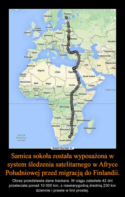 Samica sokoła została wyposażona w system śledzenia satelitarnego w Afryce Południowej przed migracją do Finlandii.